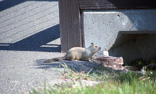 CA Ground Squirrel AHM 4-12