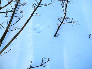 rabbit tracks in the snow