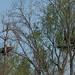 5-7-14 Bald Eagle & Nest - Kennett Square-96.jpg by gblkrum1