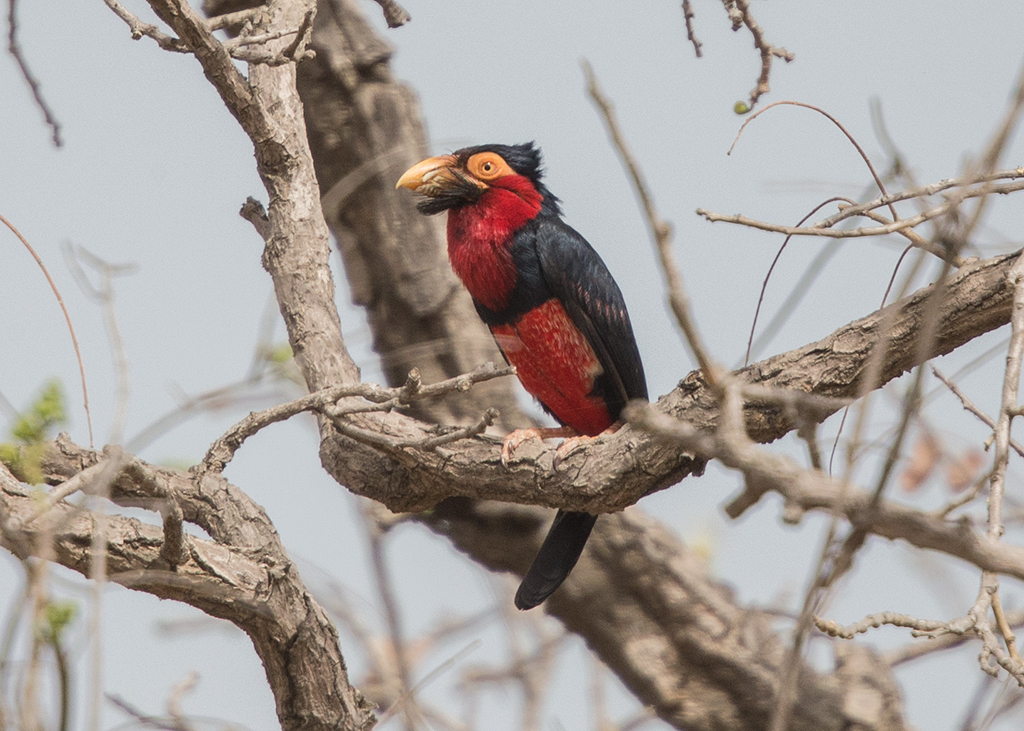 Bearded Barbet  Gambia
