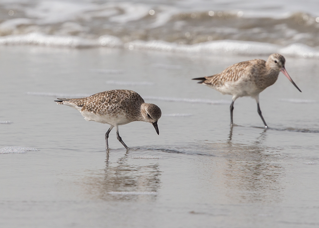 Grey Plover & Bar-tailed Godwit   Gambia