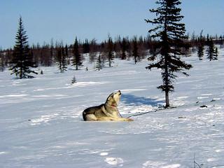 Howling husky