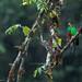 Golden-headed Quetzal (Pharomachrus auriceps) - Manu National Park by www.alfredofernandezphotography.com