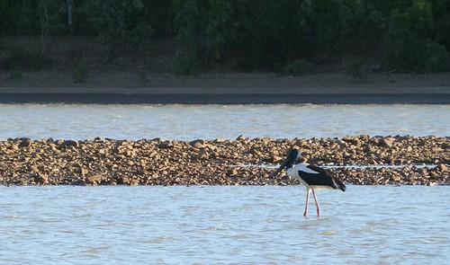 Jabiru (aka Black-necked Stork), Victoria River