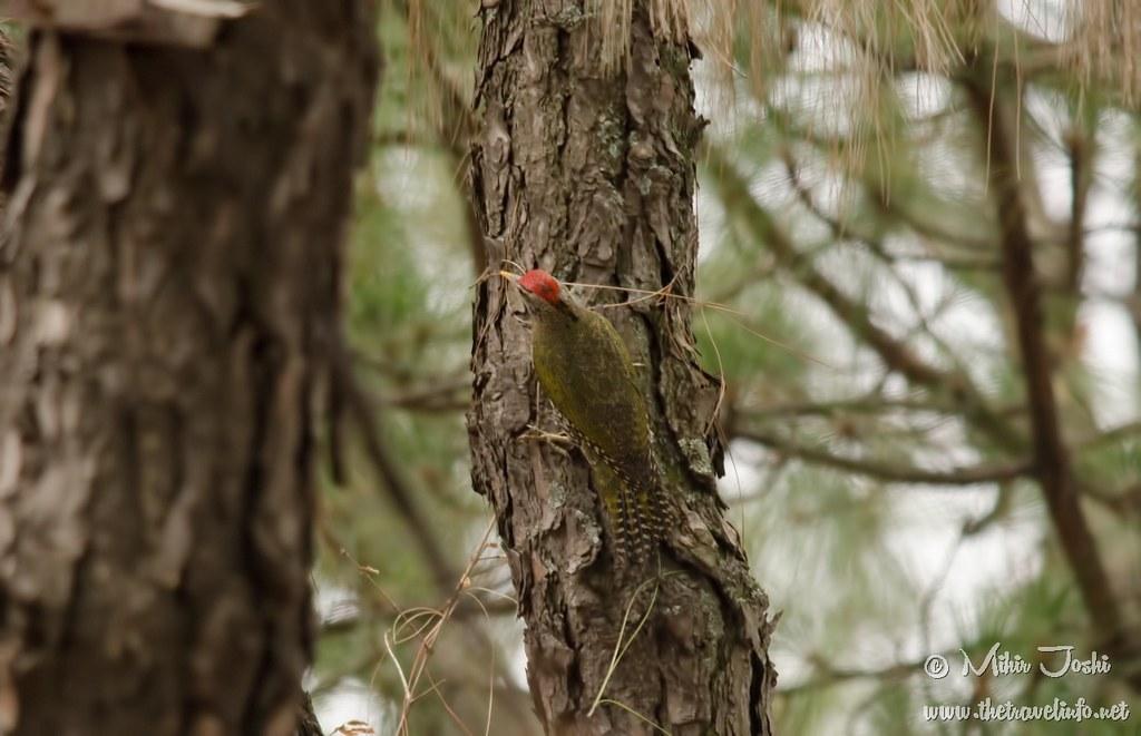 Scaly-bellied Woodpecker