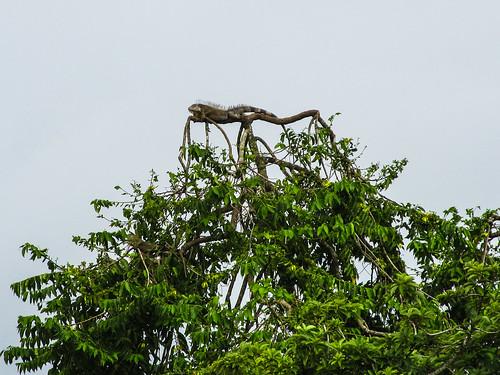 Parc National de Cahuita: immense iguane au sommet d'un arbre