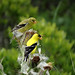 American Goldfinches in Thistle by Brooklyn Botanic Garden