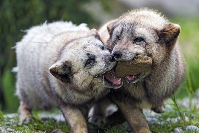 Polar foxes foghting for a stone!