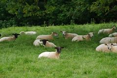 Moutons de Gerberoy - Photo of Buicourt