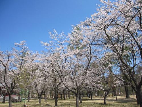 聖光寺の桜 by Poran111