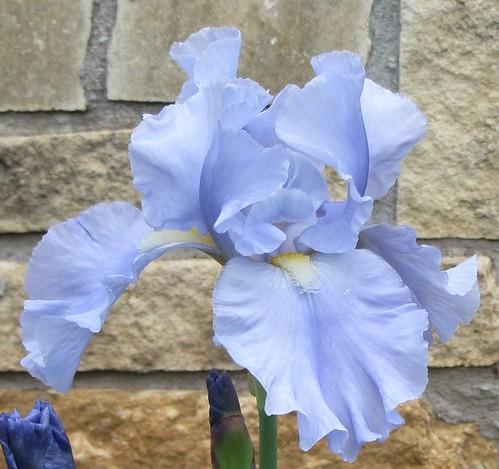 Lavender Blue TB front a