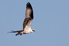Osprey (indeterminate gender)