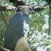 Small photo of Harpia harpyja