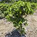 Plant de caféier