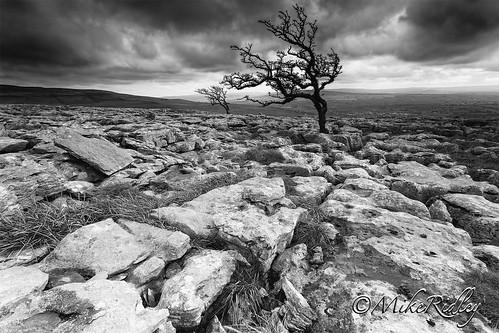 trees england storm monochrome landscape photography mono yorkshire overcast twisted limestonepavement hawthorntree leefilters twisleton mikeridley twisletonscar fellwalker1