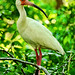 A White Ibis in the Forest