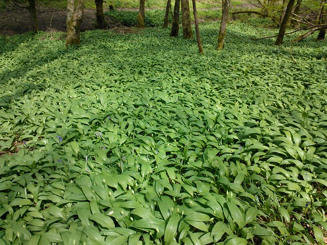 Fishes, well no. They are wild garlic plants