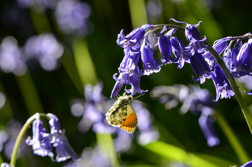 Orange Tip butterfly, backlit on Bluebells