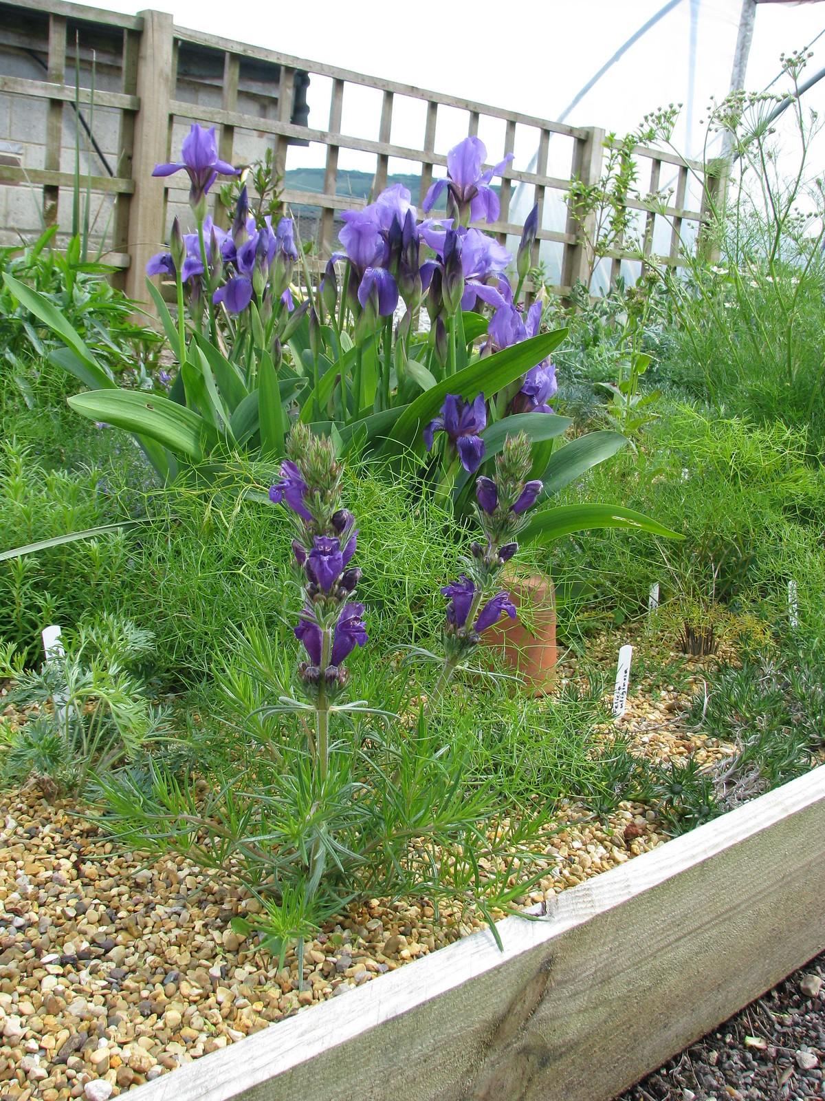 Dracocephalum austriacum and Iris aphylla