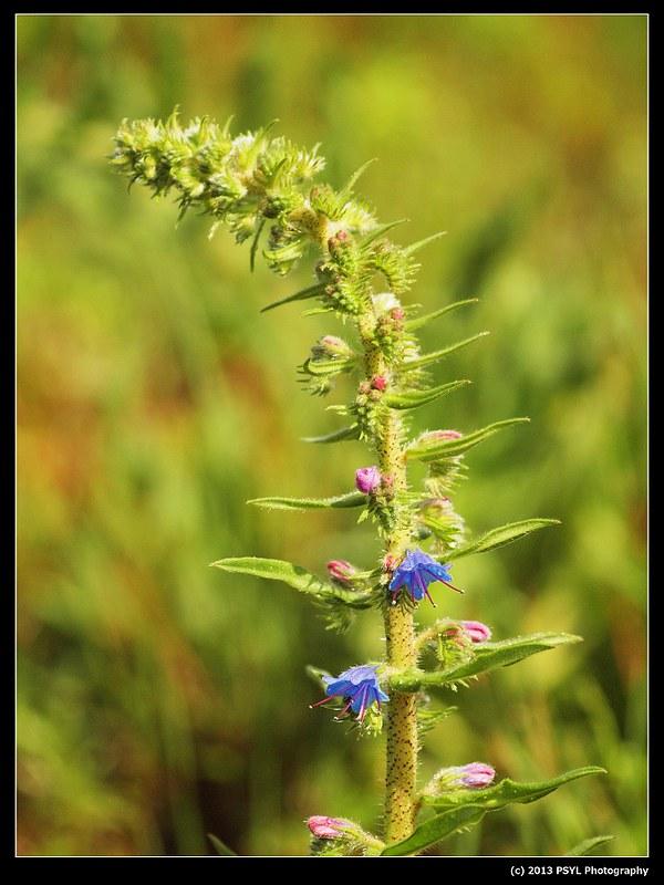2013-06-02-P6022767-Viper's-bugloss (Echium vulgare)