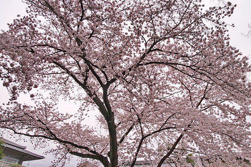 【写真】2013 桜 : 本隆寺/2020-05-19/IMGP9106