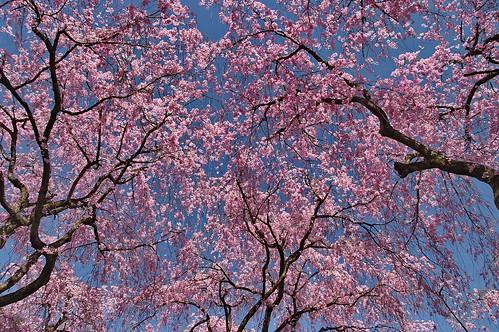 【写真】桜 : 原谷苑(2)