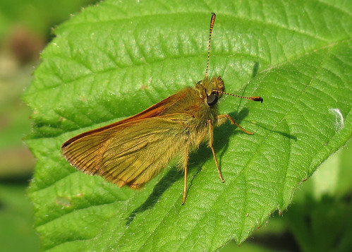 Large Skipper - Ochlodes venatus