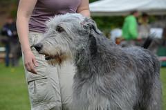 hound(0.0), berger picard(0.0), pumi(0.0), sports(0.0), glen of imaal terrier(0.0), dog sports(1.0), animal sports(1.0), dog breed(1.0), animal(1.0), dog(1.0), scottish deerhound(1.0), pet(1.0), mammal(1.0), standard schnauzer(1.0), irish wolfhound(1.0), catalan sheepdog(1.0), terrier(1.0),