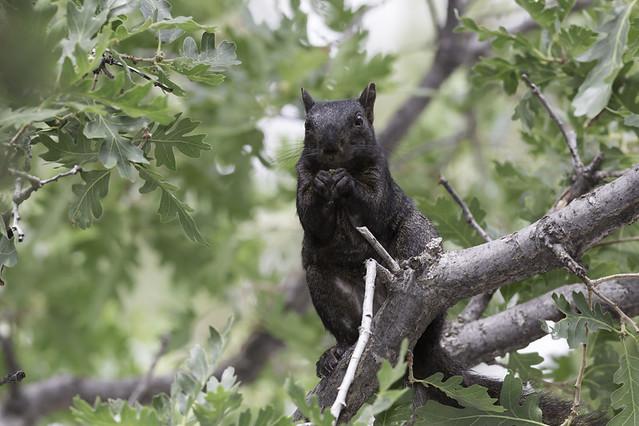 Black Fox squirrel | Flickr - Photo Sharing!: flickr.com/photos/alanvernon/9344818685