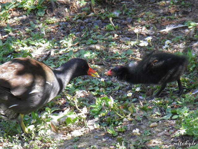 Moorhen & Chick 1