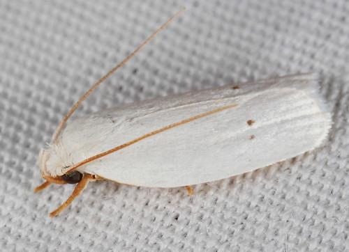 insect nc moth july northcarolina lepidoptera fieldtrip coastalplain eol bmna elachistidae gelechioidea canonmpe65mmf2815xmacrophoto antaeotricha medocmountain stenomatinae medoc20130710 antaeotrichavestalis vestalmoth taxonomy:binomial=antaeotrichavestalis