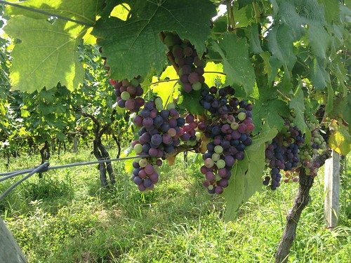 Grapes on the vine at Linden Vineyards
