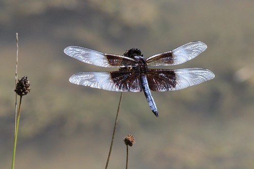 IMG_1106_Widow_Skimmer_Dragonfly