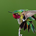 2nd Place - Published Images - Al Perry - Broad Tailed Hummingbird - Birders World Apr 2008