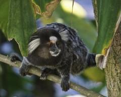 Mono Macaco - Rio de Janeiro