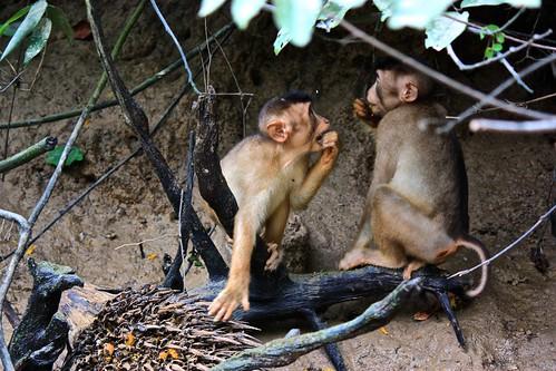 monkey brunch on palm nut