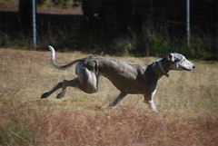dog sports, animal, dog, whippet, galgo espaã±ol, sloughi, pet, italian greyhound, greyhound, carnivoran,