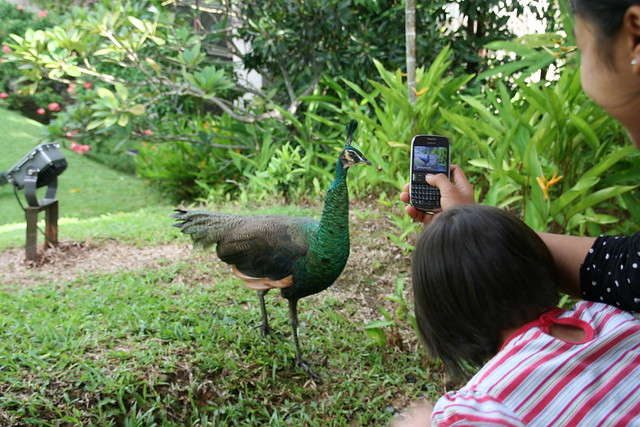 We loved taking photos of the peacocks