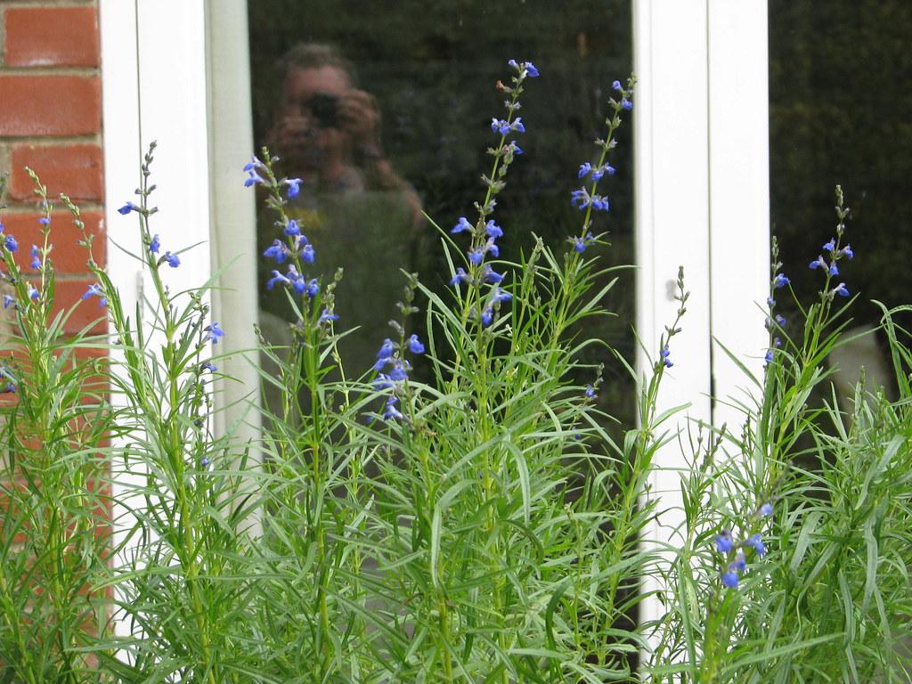 Salvia reptans