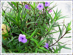 Ruellia simplex 'Purple Showers' (Britton's Wild Petunia, Mexican Petunia/Bluebell) in our garden, Sept 28 2013