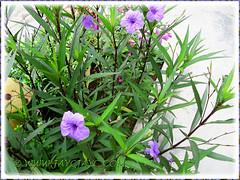 Ruellia simplex 'Purple Showers' (Britton's Wild Petunia, Mexican Petunia/Bluebell) in our garden, Sept 28 2013