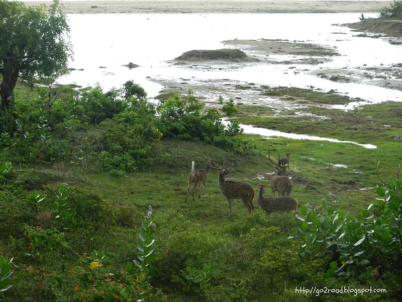 Шри Ланка. Национальный парк Ялла. Олени
