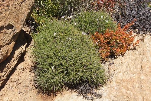 P. dasyphyllum, plant