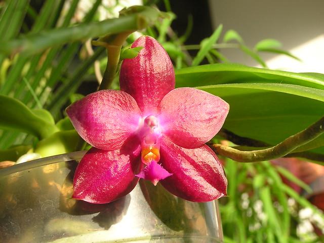 Phalaenopsis Lea Marie Salazar 'Joy'