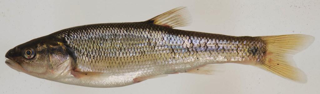 Maryland Biodiversity Project - Creek Chub (Semotilus ...
