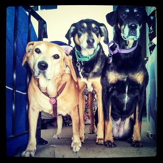 The official greeters, waiting for big brother Zeus to come in (see previous pic) #ilovemydogs #instadog #dogstagram #houndmix #coonhoundmix #dobermanmix #Rescued #adoptdontshop