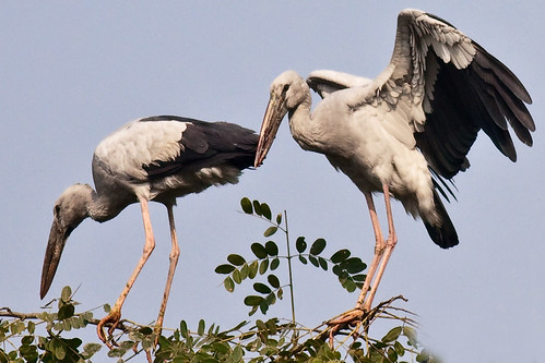 Asian Openbill by Quazi Ahmed Hussain