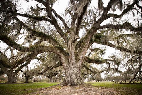 Live Oak Spread