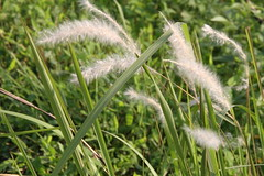 Imperata cylindrica/白茅 (Liuzhou, Guangxi/广西柳州) 5103