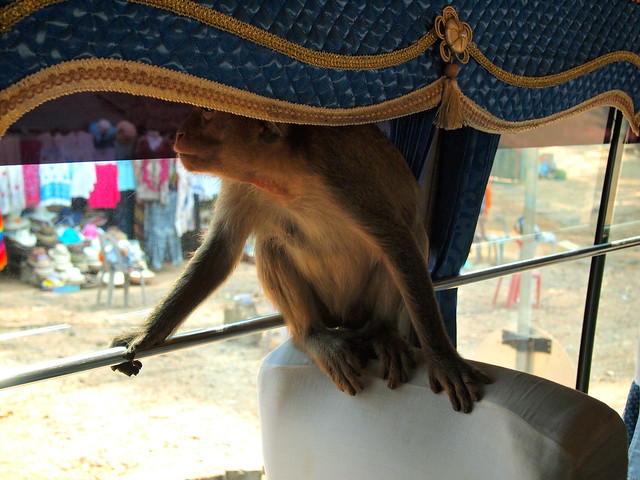 Monkey on a tour bus in Cambodia